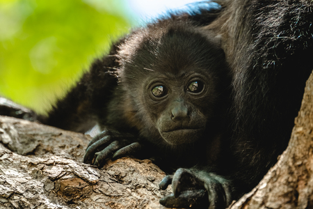 Mantled howler (Alouatta palliata). Baby of golden mantled howling monkey on the tree.