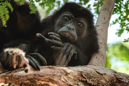 Mantled howler (Alouatta palliata). Golden mantled howling monkey on the tree. Stock Photo - 81153689