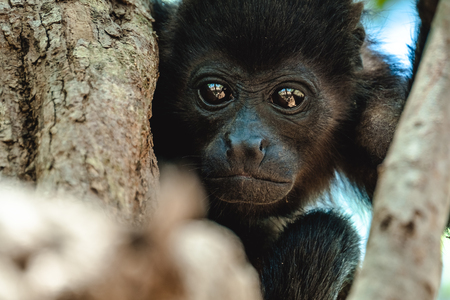 howler: Mantled howler (Alouatta palliata). Baby of golden mantled howling monkey on the tree.