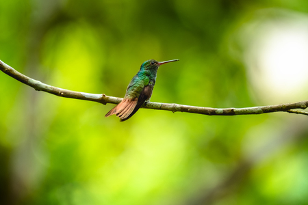 The rufous tailed hummingbird (Amazilia tzacatl) sits on the branch. Costa Rica Reklamní fotografie