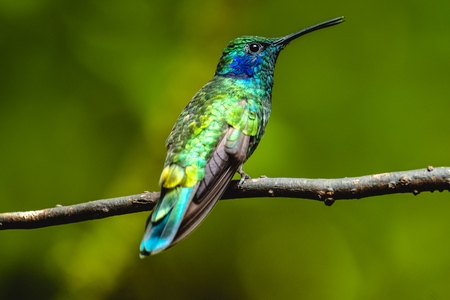 Kleine violet (Colibri cyanotus) kolibrie zit op tak. Costa Rica Stockfoto