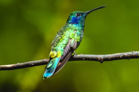 Lesser violetear (Colibri cyanotus) hummingbird sits on branch. Costa Rica