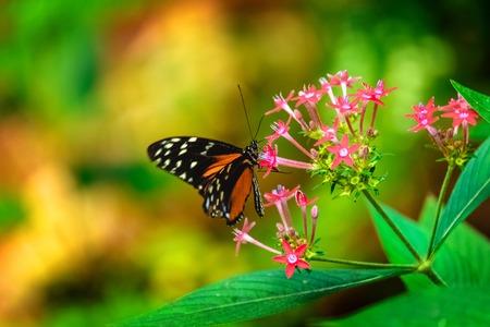 ピンクの花に座って蝶