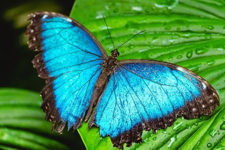 푸른 나비는 녹색 잎에 앉아있다.
