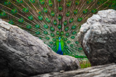 Peacock with open colorful tail stands between rocks Stock Photo