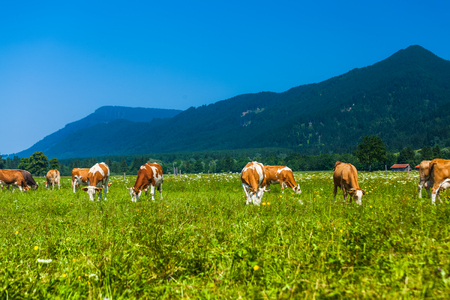 Herd of cows grazing on a green meadow with Alps on the background Фото со стока