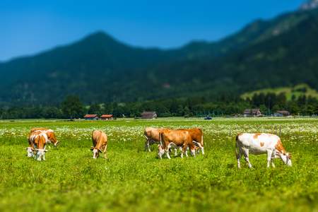 Herd of cows grazing on a green meadow with Alps on the background. Tilt shift effect applied