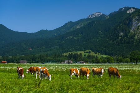 Cows grazing on a green Alpine meadow at sunny day