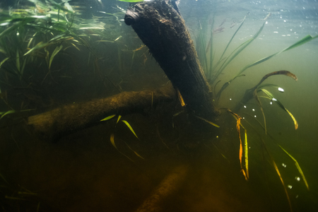 Underwater view of the river bottom with old trees and weed