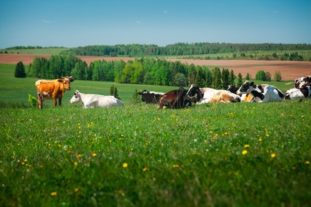 Cows relaxing on a spring meadow with green grass Фото со стока - 89524343