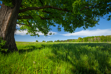 Prato di primavera con erba verde e vecchia quercia grande Archivio Fotografico - 89524362