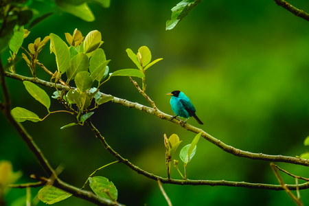 Green Honeycreeper, Chlorophanes spiza on the branch