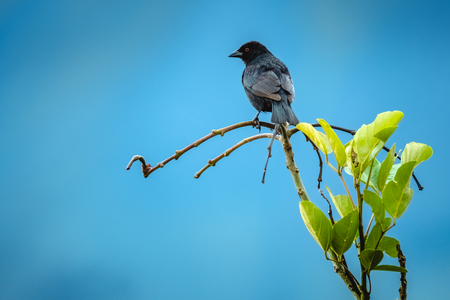 Tropische vogel van Costa Rica op de tak met blauwe hemel op de achtergrond