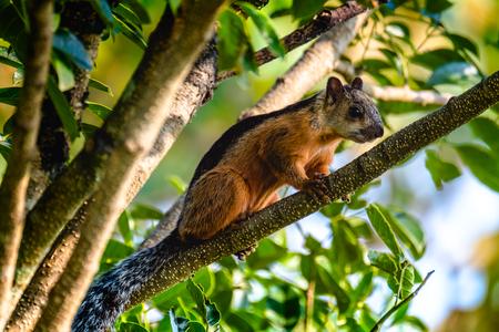 Knaagdier op de tak van de boom. Costa Rica Stockfoto