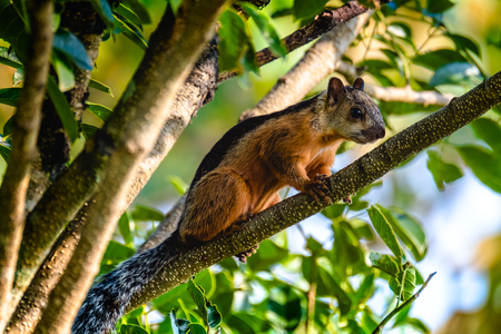 Rodent on the branch of tree. Costa Rica Stock Photo