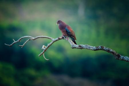 Tropische vogel van Costa Rica op de tak met tropisch bos op de achtergrond