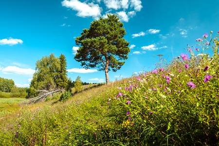 松の木、前景に花模様の地平線と緑豊かな芝生の森夏の草原 写真素材