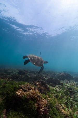 Turtle swims underwater over coral reef