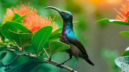 Lotens Sunbird (Cinnyris lotenius) sits on the branch in a green garden near the flowers. Sri Lanka