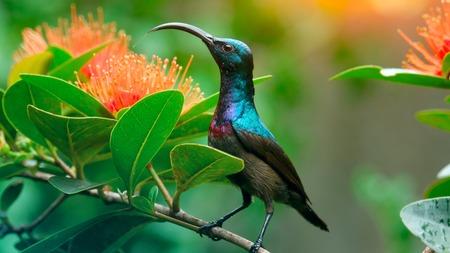 Lotens Sunbird (Cinnyris-lotenius) zit op de tak in een groene tuin dichtbij de bloemen. Sri Lanka