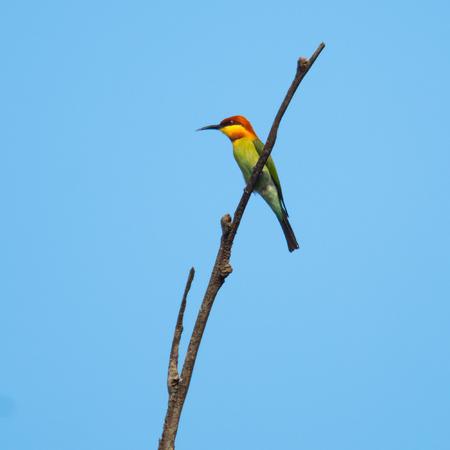 De kleurrijke vogel zit op een droge boom. Sri Lanka Stockfoto