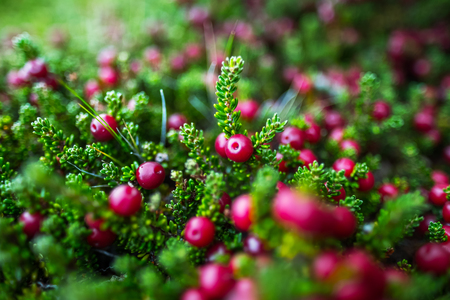 Crowberry (Empetrum rubrum) on the green natural background. Berry also known as diddle dee. Argentina 写真素材