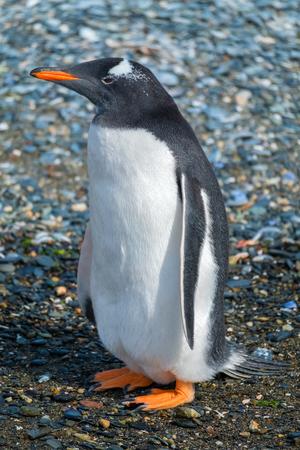 ジェントゥーペンギン(ピゴスセリスパプア)は、地面のクローズアップビューに立っています。ティエラ・デル・フエゴ (アルゼンチン)