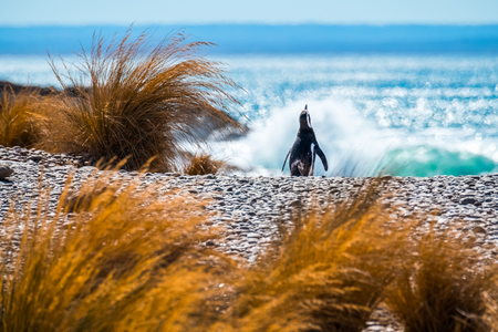 Magellanic penguin (Spheniscus magellanicus) walks on the beach towards the ocean. Argentina