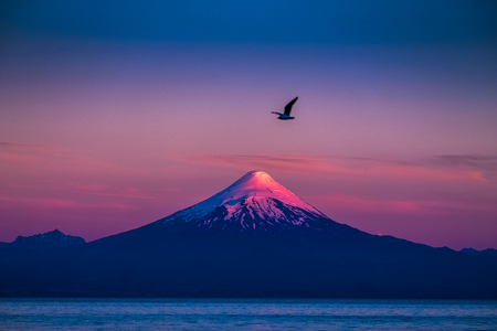 Bird flies in the air with volcano of Osorno in sunset light on the background. Chile