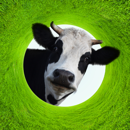 Happy smiling funny cow in a frame of a green lush grass