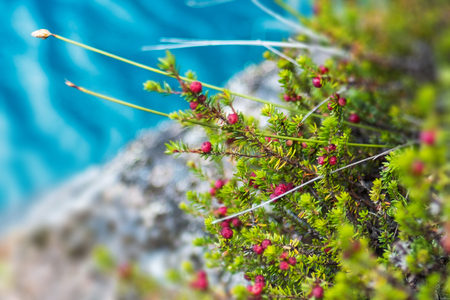 Red berries named Diddle dee (Empetrum rubrum) on the coast of a lake with blue water. Patagonia, Chile
