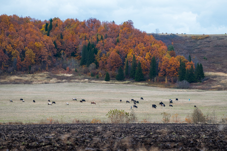 Herd of cows grazing on an autumn field. Russia