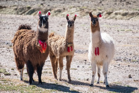 Three decorated llamas (Lama glama) stand together and look into camera. Bolivia Reklamní fotografie - 102210046