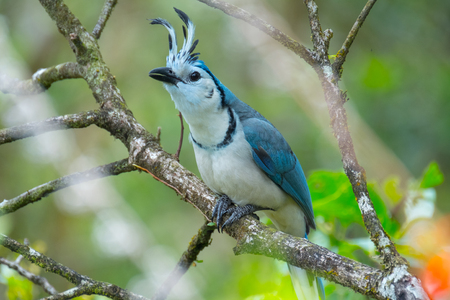 White throated magpie jay (Calocitta formosa) sits on the tree. Forest of Costa Rica