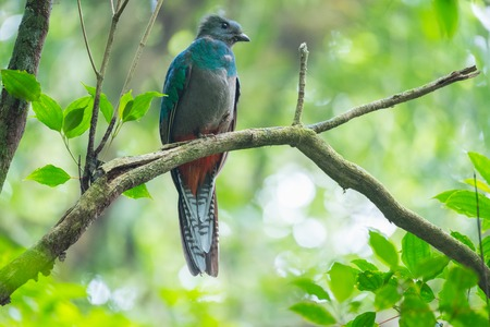 Female of resplendent quetzal (Pharomachrus mocinno) sits in a forest of Costa Rica