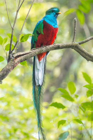 Male of resplendent quetzal (Pharomachrus mocinno) sits on the tree branch in the forest of Monteverde National Park, Costa Rica Reklamní fotografie - 102209935