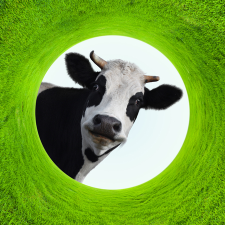 Happy smiling cow in a natural green grass frame