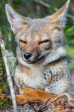 Portrait of the cunning fox in a forest