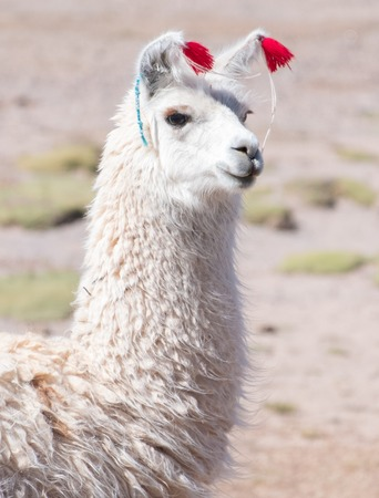 Decorated white llama (Lama glama) over blurred natural background. Bolivia