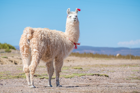 Decorated white llama (Lama glama) stands on the meadow with natural blurred background. Altiplano, Bolivia