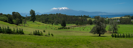 Panorama of a green summer meadow with grazing cows, forest and mountains on the horizon, Patagonia, Chile Фото со стока