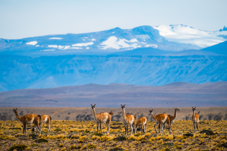 Herd of guanacos (Lama guanicoe) grazing in the pampa with mountains on the background. Patagonia, Argentina