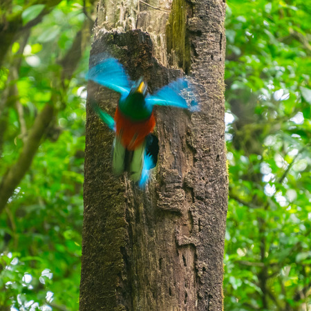 Female of resplendent quetzal (Pharomachrus mocinno) flies from the nest made in the tree. Bird is motion blurred. Costa Rica