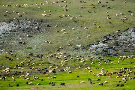 Huge sheep and goat herd grazing on the green hill in mountains of Altai, Russia Stock Photo