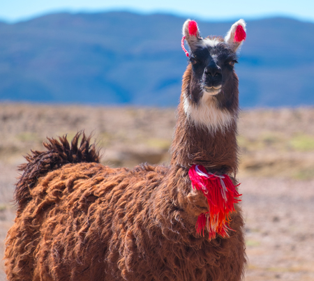Colorful llama stays in the wild pasture of Bolivia