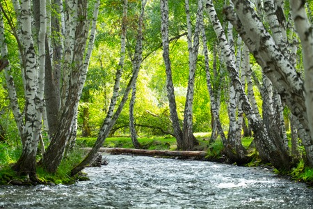 Bright forest with birches and small rapid river. Altai, Russia