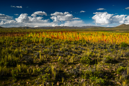 Field with quinoa (Chenopodium quinoa) in Bolivia 스톡 콘텐츠