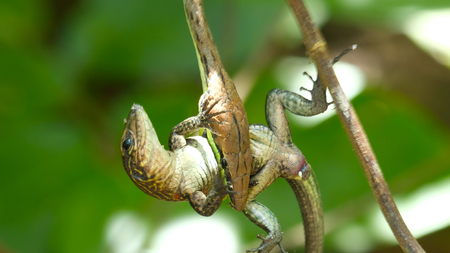Narrow headed vine snake (Oxybelis aeneus) with its prey lizard in the forest of Costa Rica