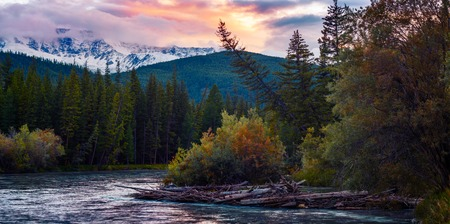 Panorama of the rapid river of Chuya ant its wild coasts with pine trees during sunset. Altai, Russia Stock Photo