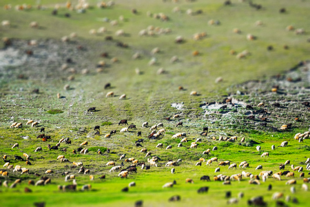 Huge sheep and goat herd grazing on the green hill in mountains of Altai, Russia. Tilt shift effect applied Stock fotó